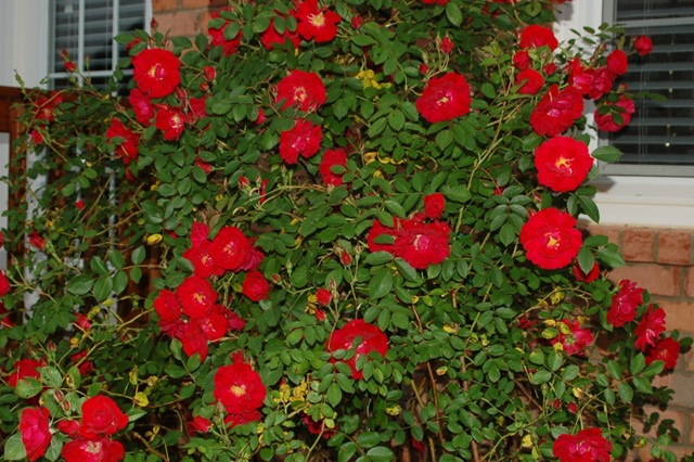 how to move a rose bush in the fall